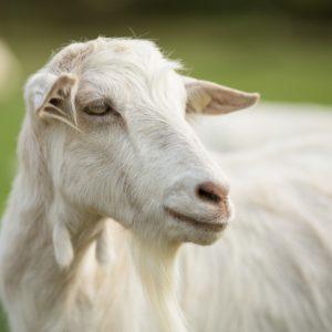 Lactate de capra